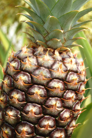 Pineapple stock photo, A fresh pineapple with lots of detail by Crystal Srock