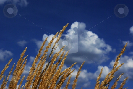 Wild grass reaching for sky stock photo, Shafts of wild grass reach for the sky on a late summer day. by Dennis Thomsen