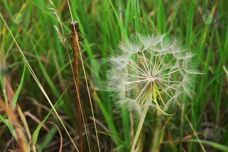 Ready for dispersal stock photo, A dandelion flower has completed its life cycle and waits ready for a gust of wind to distribute its seeds. by Dennis Thomsen