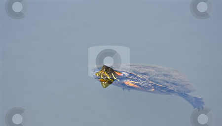 Turtle stock photo, A turtle swimming in a pond with his head sticking up above the water by Stephen Bonk