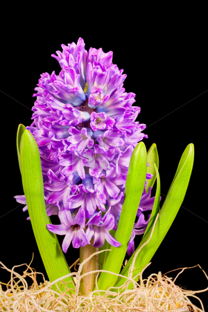 Hyacinth stock photo, An isolated hyacinth on a black background by Stephen Bonk