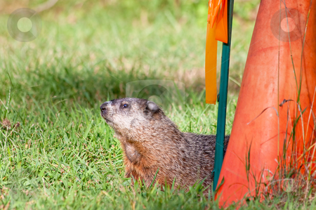 Groundhog stock photo, A groundhog in a grass field near a red cone by Stephen Bonk