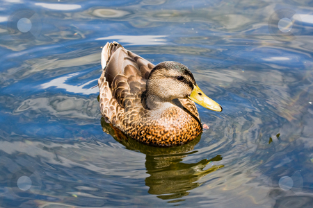 Mallard Duck stock photo, A mallard duck in a lake by Stephen Bonk