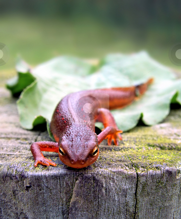 Red-Spotted Newt stock photo, Red-Spotted Newt on tree stump by Stephen Bonk