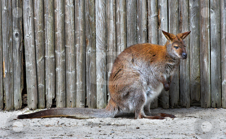 Wallaby stock photo, A wallaby in front of a fence by Stephen Bonk