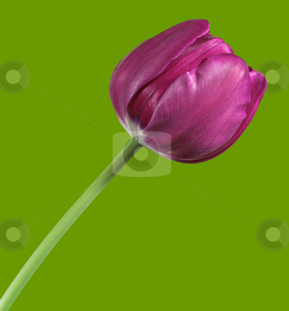 Tulip stock photo, A violet colored tulip isolated on a green background by Stephen Bonk