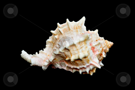 Seashell Over Black #11 (Conch) stock photo, An isolated conch seashell over black by Stephen Bonk