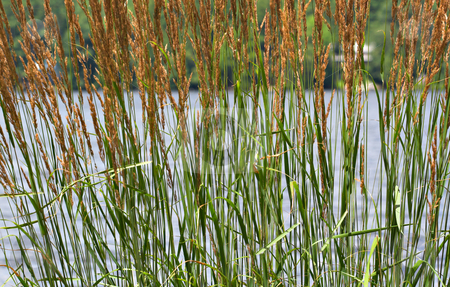 Cattails stock photo, Tall cattails in front of a lake. Focus is on cattails with lake and background out of focus. by Stephen Bonk