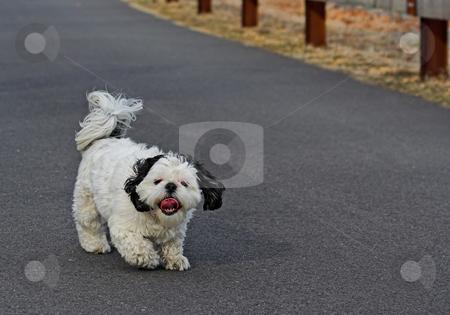 Shih Tsu Taking a Walk stock photo, A Shih Tsu going for a walk by Stephen Bonk