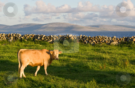Cow stock photo, A cow in sharp focus in the foreground on green grass. A soft background consists of Galway Bay and The Burren in Ireland. by Stephen Bonk