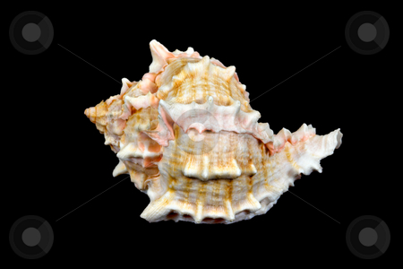 Seashell Over Black #1 (Conch) stock photo, An isolated conch seashell over black. This is #1 in a series. by Stephen Bonk