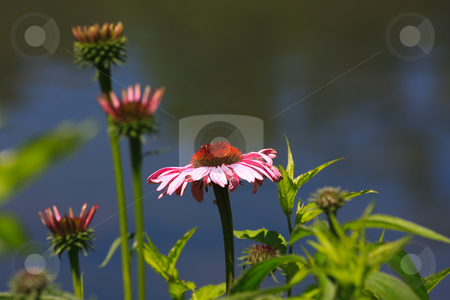 Daisy stock photo, A wild daisy flower growing in a field by Stephen Bonk