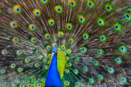 Blue Peacock stock photo, A blue peacock with colorful open feathers filling the entire frame. by Stephen Bonk