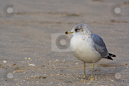 Gull on a Beach stock photo, A gull on a New Jersey beach by Stephen Bonk