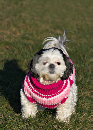 Shih Tzu in a Sweater 2 stock photo, A white and black Shih Tzu in a pink, red, and white sweater on a grass background. Copy space exists at the top of the photo. by Stephen Bonk