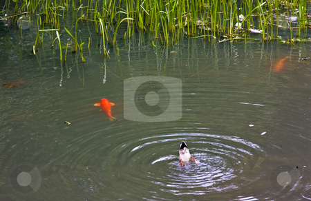 Duck and Fish in Pond stock photo, A pond with an upside down duck and two fish. The duck has his head in the water and his butt in the air. by Stephen Bonk
