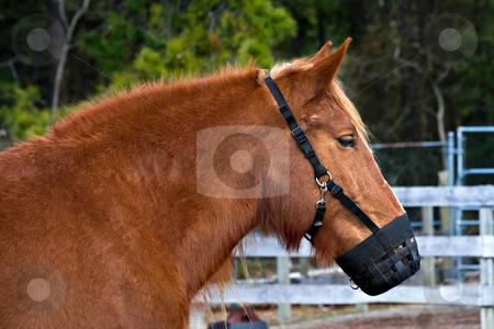 Pony Muzzle stock photo, A pony wearing a muzzle on a farm by Stephen Bonk