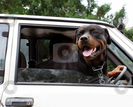 Dog looking through car window stock photo, Head of big black dog in car on crossroad in Belgrade by Julija Sapic