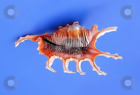 Sea shell stock photo, Large orange sea shell over blue background by Julija Sapic
