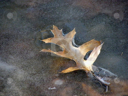 Leaf Stuck in the Ice stock photo, Leaf Stuck in the Ice. by Dazz Lee Photography