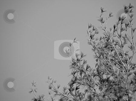 Billowing Pine stock photo, Billowing Pine, Delicate pine needles on a pine tree branches billowing about as the wind blows. by Dazz Lee Photography