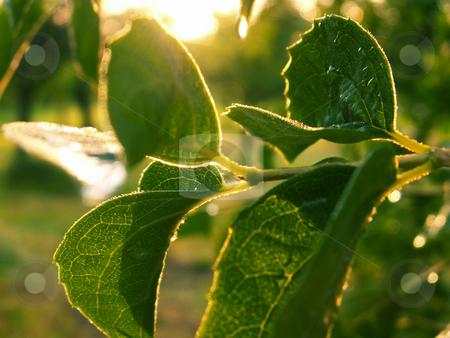 Dew stock photo,  by Sarka