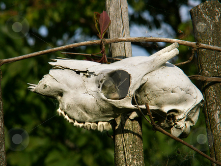 Animal skull stock photo,  by Sarka