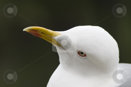 Seagull stock photo, The glance of the seagull by Serge VILLA