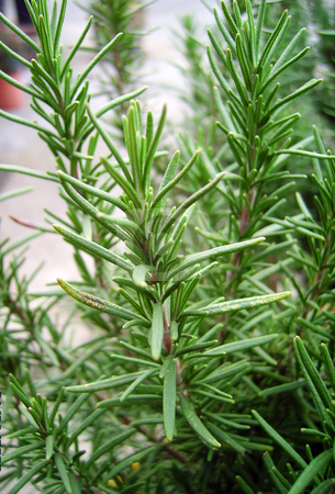 Rosemary stock photo, A close image of the leafs of a rosemary rosmarinus variety by Tudor Antonel adrian