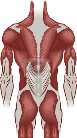 Illustration of the muscles of the back stock vector clipart, An illustration of the muscles of the human back by Christos Georghiou