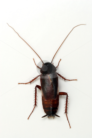 Cockroach on white background stock photo, Cockroach on white background.Unsharpened. by Ivelin Radkov