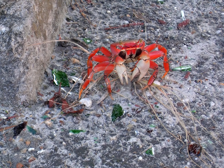 Red Crab stock photo, Mister Crabs looks a little irritated. by Todd Arena
