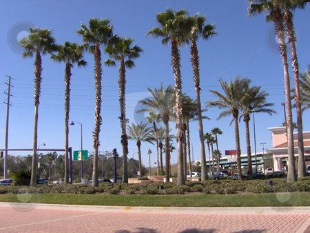 FL Tall Palms stock photo, Some Florida tall palm trees. by Todd Arena