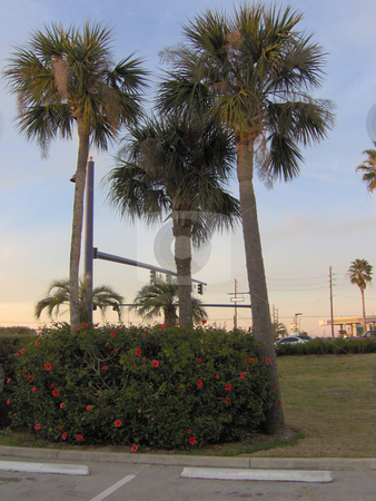 3 Tall Palm Trees stock photo, Three tall palms. by Todd Arena