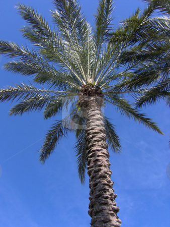 Florida Palm Tree stock photo, Underneath a tropical florida palm tree by Todd Arena