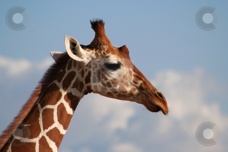 Reticulated Giraffe Head profile stock photo, The reticulated girafe has very clearly definded edges between its markings. The Masaai giraffe looks as if the brown patches have leaked into the white areas. by Helen Shorey