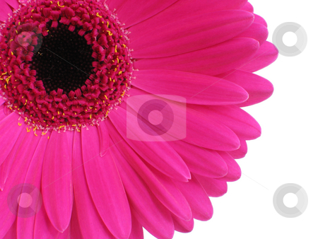 Hot Pink Gerbera stock photo, Bright pink gerbera (or Cape Daisy) focus is on petals by Helen Shorey