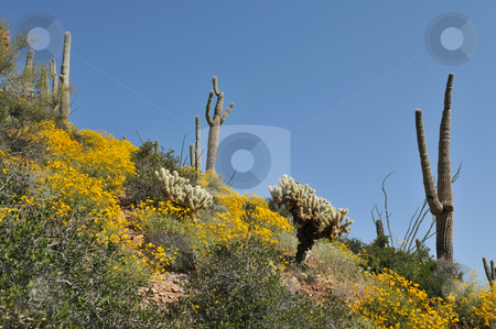 Cactus stock photo, Cactus and yellow wildflowers, Tonto National Monument near Roosevelt, Arizona by Harris Shiffman