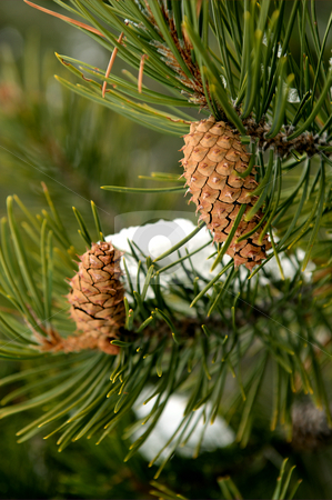 Pine Cones stock photo, New unopened pinecones waiting to turn into mature cones by Lynn Bendickson