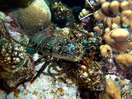 Scalloped spiny lobster stock photo,  by Cigdem Cooper