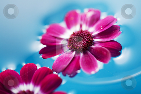 Floating flowers stock photo, Pink flowers floating in the blue water by Liv Friis-Larsen
