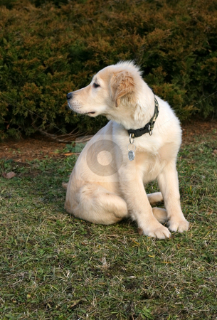 Golden Retriever Puppy Watching stock photo, A close-up photo of puppy of golden retriever watching something by Petr Koudelka