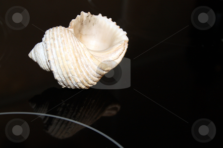 Sea shell on black stock photo, Sea shell on a reflective black surface by Chris Alleaume