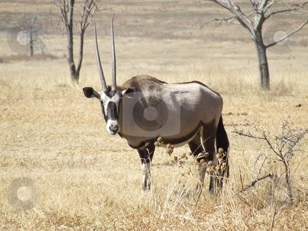 Gemsbuck in the grass stock photo, Gemsbuck staring at bystanders with uneven horns, in the savannah in South Africa by Chris Alleaume