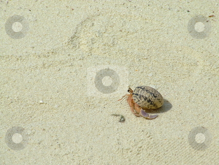 Hermit Crab stock photo, Hermit crab scurrying for cover on the hot beach sand by Chris Alleaume