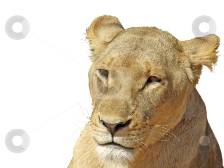 Pensive lioness, isolated stock photo, Pensive looking lioness, isolated on a background by Chris Alleaume