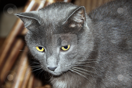 Pensive house cat with brilliant eyes, gazing off into the distance stock photo, Pensive house cat with brilliant eyes, gazing off into the distance by Chris Alleaume