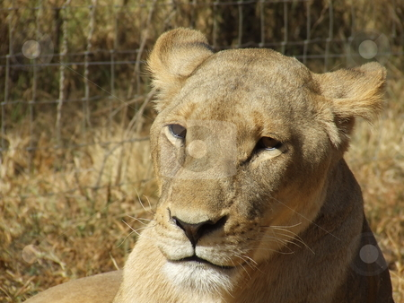 Pensive Lioness stock photo, Lioness looking pensive, taken in South Africa by Chris Alleaume