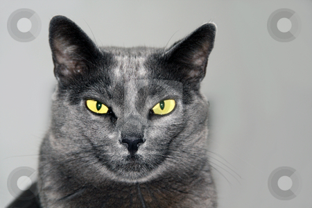 Poker face stock photo, Burmese house cat with brilliant eyes, pulling a poker face by Chris Alleaume
