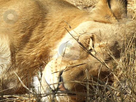 Sleeping lioness stock photo, Lioness caught sleeping peacefully in the grasslands of South Africa by Chris Alleaume